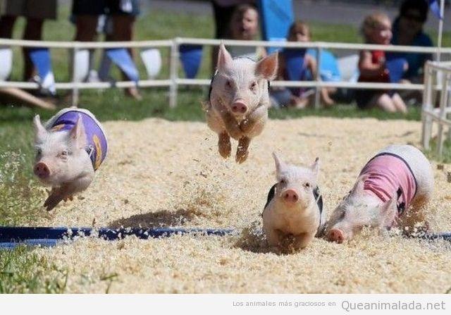 Carrera de cerdos pequeños