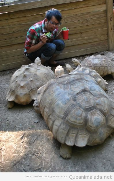 Chico dando de comer lechuga a tortugas de tierra gigantes