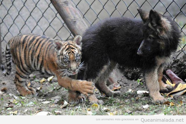 Tigre bebé gracioso agarrado de la pierna de un pastor alemán