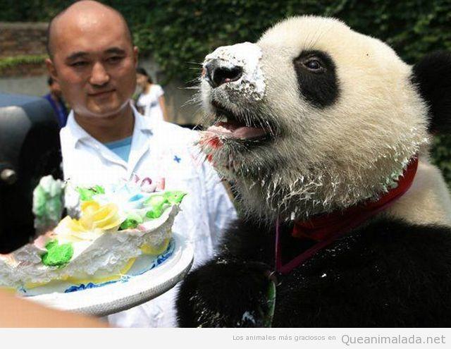 Oso panda feliz comiendo pastel o tarta
