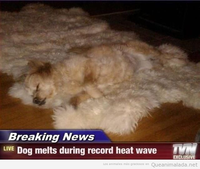 Perro gracioso camuflado en la alfombra con el mismo pelo