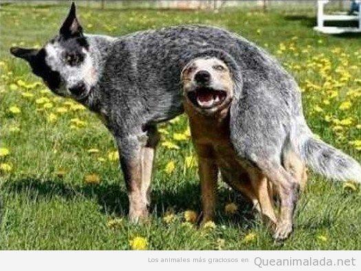 Perros graciosos juntos, uno está debajo del otro