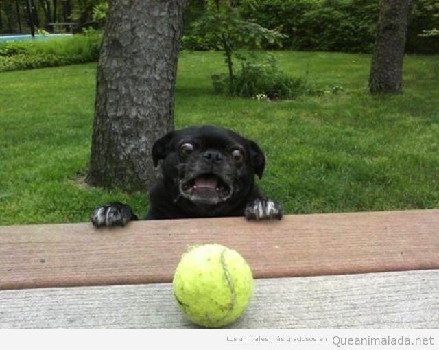 Perro carlino o pug negro quiere coger una pelota de tenis