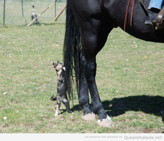 Gato gracioso agarrado a la cola de un caballo