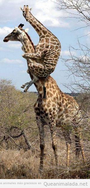 Jirafa pequeña graciosa subido al cuello de su madre