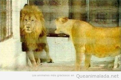 Una leona grita a un león