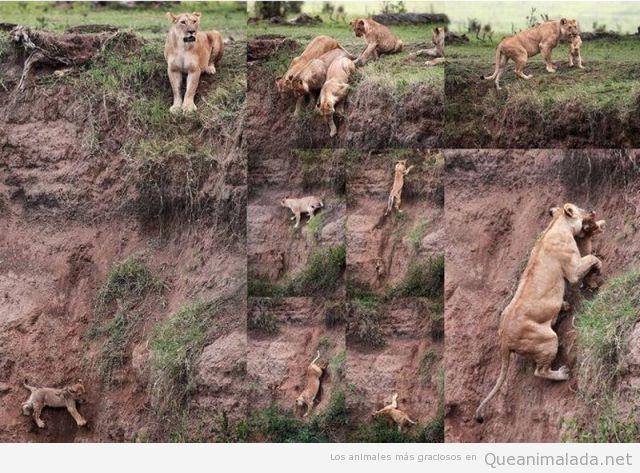Una madre leona rescata a su cría en un precipicio