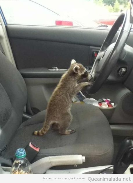 Mapache dentro de un coche al volante