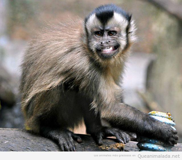 Mono gracioso sonrisa falsa