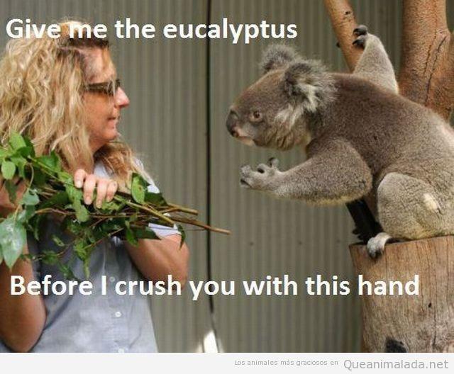 Koala pide a una mujer una rama de eucaliptus