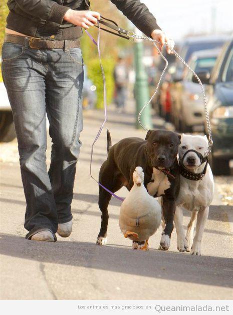 Mujer paseando a dos perros y un pato