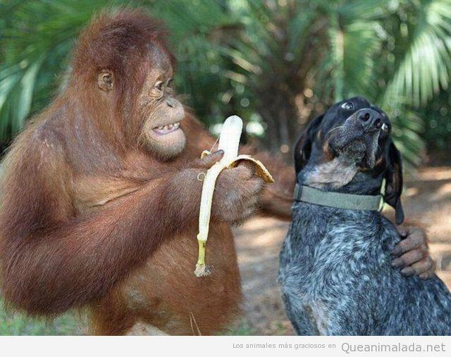 Orangután ofrece un plátano a un perro, que no quiere comer