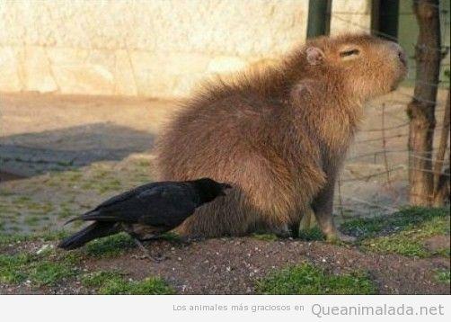 Foto graciosa de un pájaro negro picotecando a un capybara