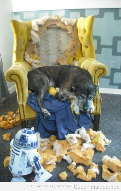 Perro gracioso después de destrozar un sillón y robot R2D2