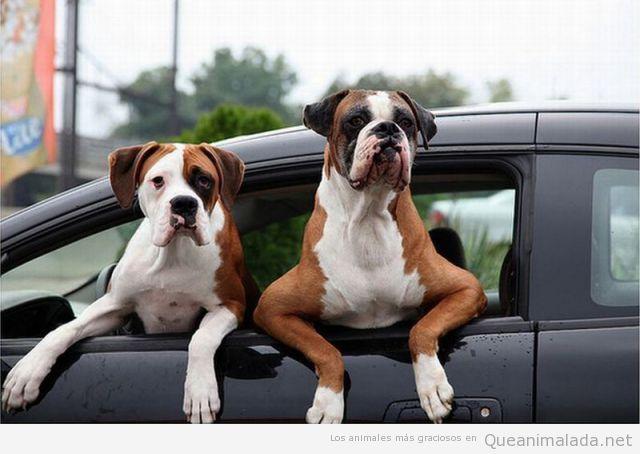 Perros graciosos haciéndose los chicos manos en la ventana del coche