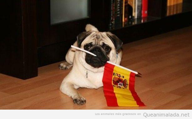 Pug o carlino gracioso con bandera España animando a la Roja