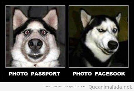 Perro husky gracioso, diferencias entre foto DNI y perfil Facebook