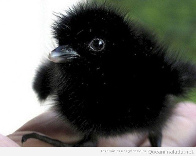 Alyanne Vance ¨News¨ Foto-graciosa-mona-bonita-tierna-cute-cuervo-bebe-cria-raven-baby