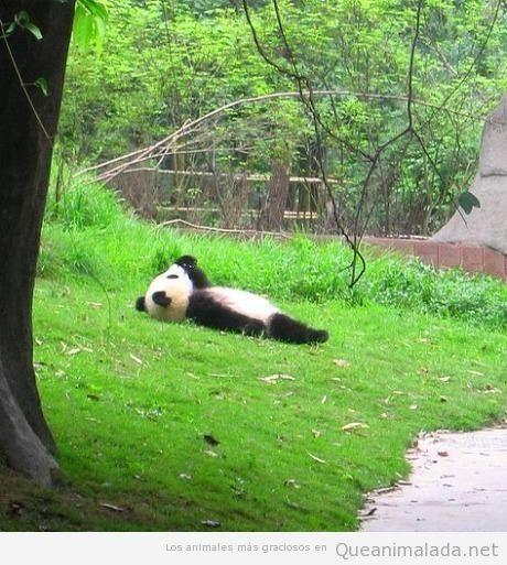 Oso panda tumbado boca arriba mirando nubes