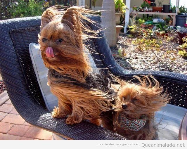 Foto graciosa de dos york shire de pelo largo al viento