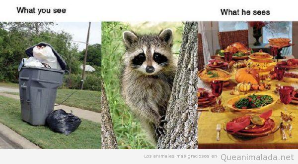 Realidad mapache versus realidad humana, la basura es un banquete