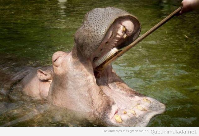 mujer cepilla los dientes a un hipopotamo