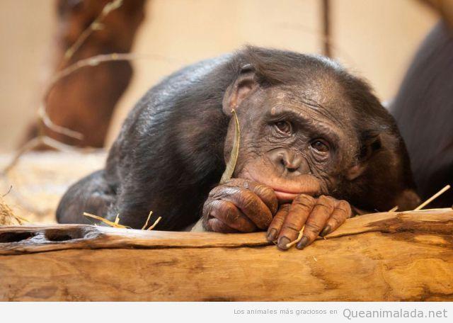 Foto bonita de un mono que parece estar pensativo enamorado