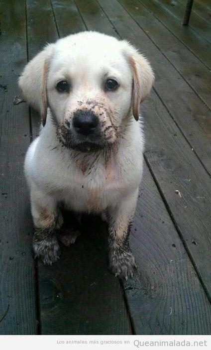 Imagen bonita y tierna de un perro cachorro de labrador lleno de barro
