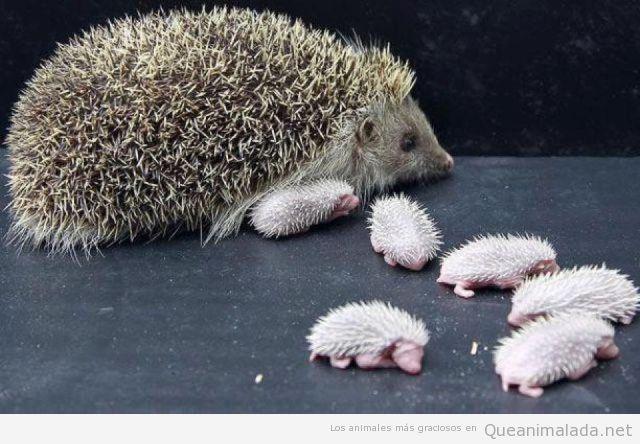 Foto bonita y tierna de erizos recién nacidos