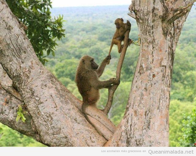 Foto divertida de una madre mono macaco tirando de la cola a su cría
