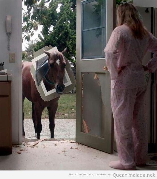 Foto divertida de un pony con el marco de la puerta en la cabeza