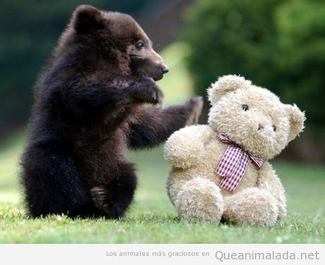 Foto divertida de un bebé de oso derribando a un osito de peluche