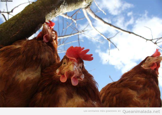 Foto graciosa gallos y gallinas