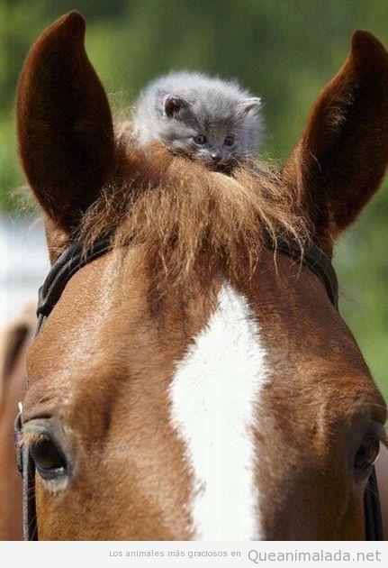 Foto graciosa de un gato pequeño subido a la crin de un caballo