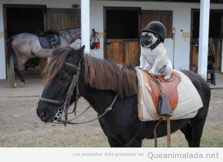 Foto graciosa de un perro carlino o pug encima de un caballo
