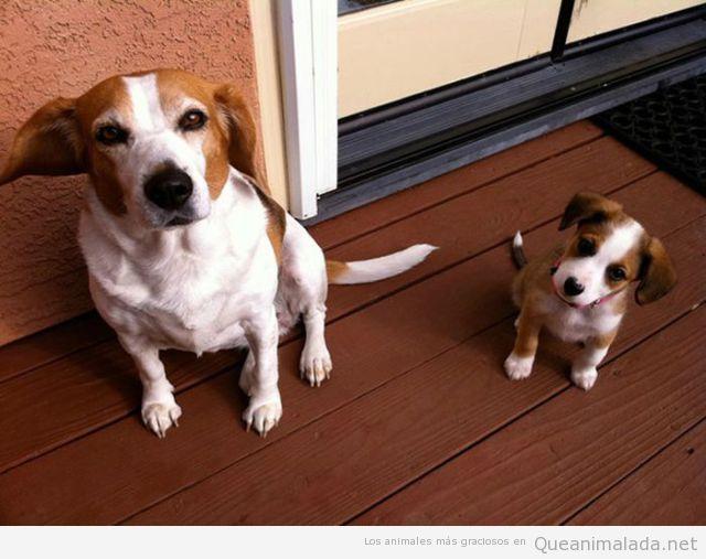 Foto graciosa de un perro y su cachorro con la misma mancha en la cara