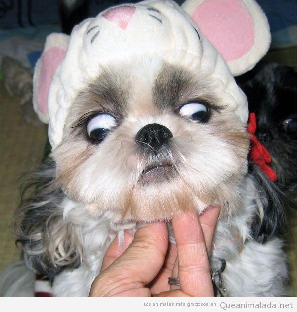 Foto divertida de un perrito mirando hacia abajo