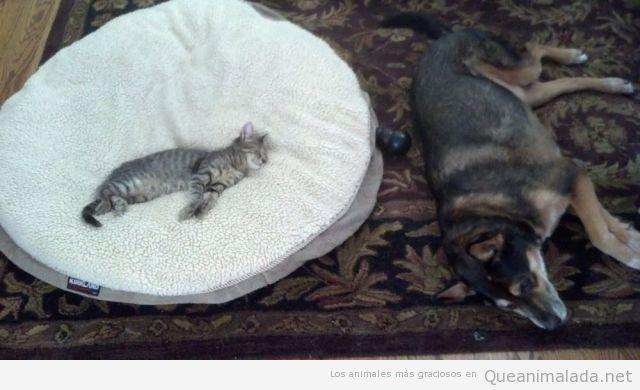 Foto graciosa de un gato durmiendo en la cama de un perro