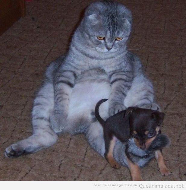 Perro pequeño con gato gordo