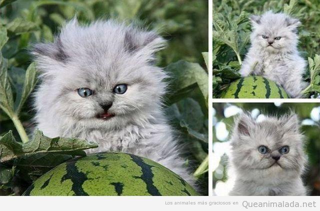 Gato gracioso despeinado en un campo de sandías