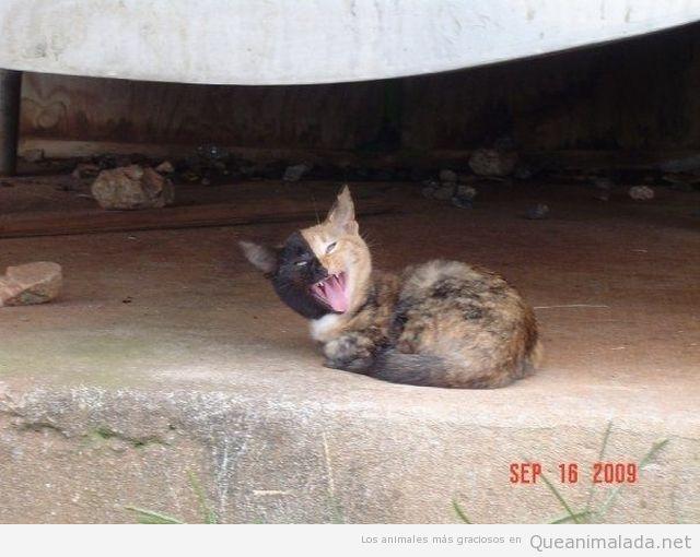 Foto curiosa de un gato con media cara negra y riendo como El Joker