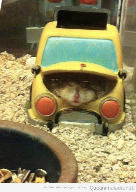 Foto graciosa de hamster dormido en un cochecito