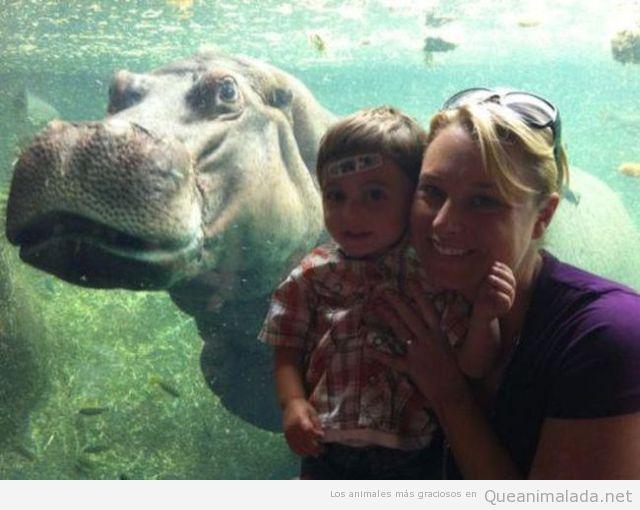 Hipopotamo jodefotos