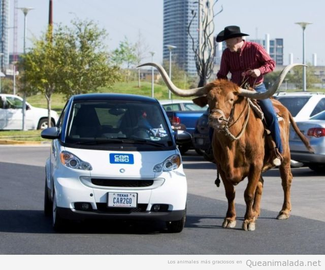 En Texas, un hombre subido a un bufalo en la carretera