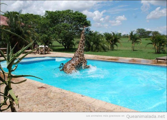 En una piscina en la sabana africana, una jirafa se da un baño