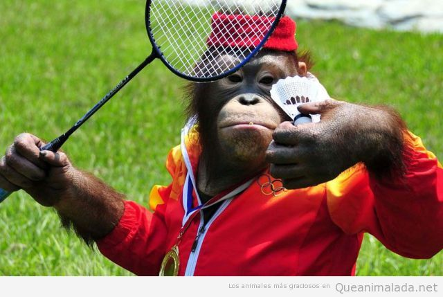 Chimpancé vestido de jugador de badminton con raqueta y volante