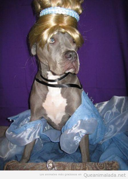 Perro disfrazado de Cenicienta