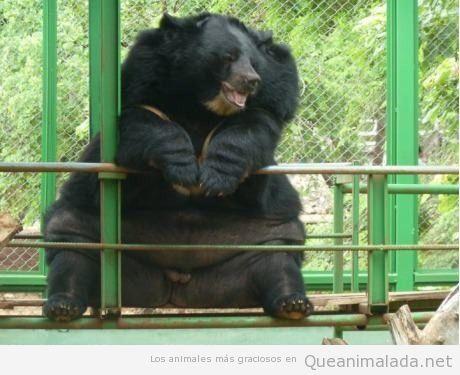 Oso enorme obeso en el zoo