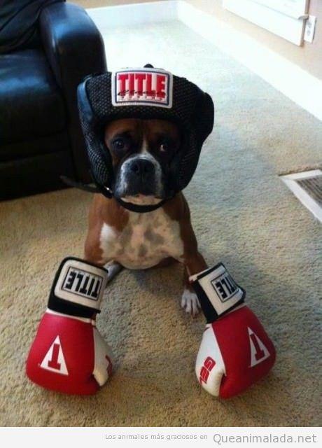 Perro boxer disfrazado boxeador