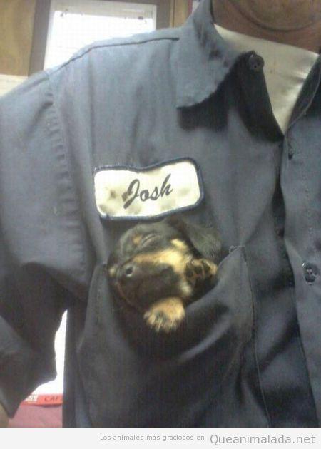 Perro cachorro metido en el bolsillo del mono de trabajo